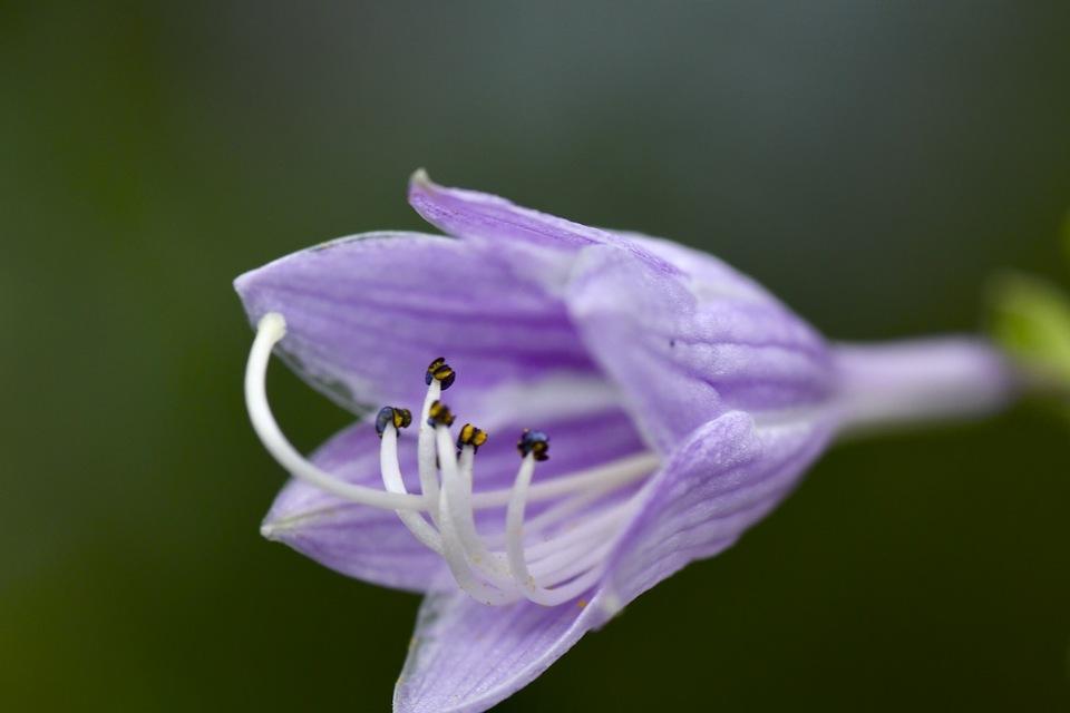 爽やかブルーのギボウシの花。 border=