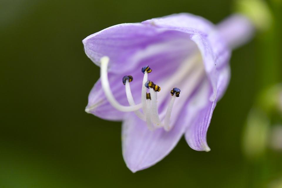 爽やかブルーのギボウシの花。