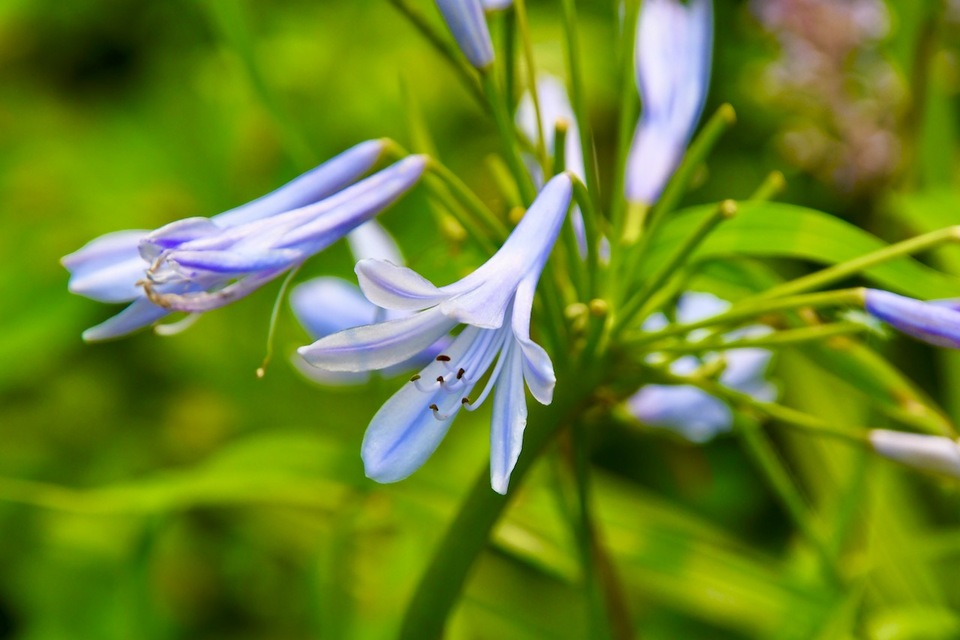 ムラサキクンシラン(紫君子蘭)、別名がアガパンサス。