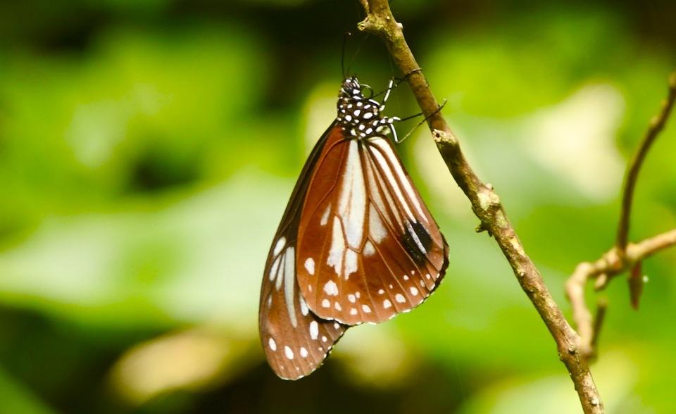 愛しのアサギマダラは旅する蝶々、