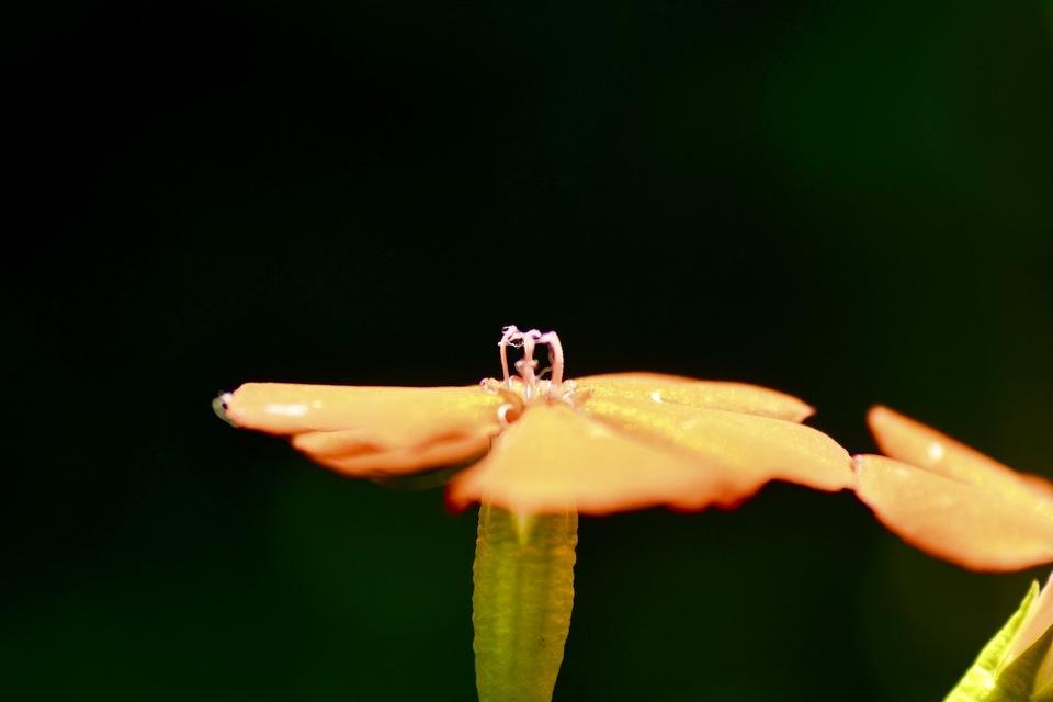 夜がらす山荘長多喜 夏の野草 中庭の萩の藪の中、オレンジ色の夏の花フシグロセンノウ。