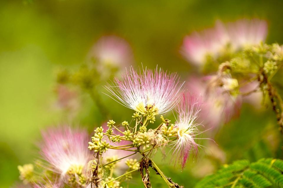 ネムの花は晴れた日には空に向かって打ち上げ花火のようにパッと咲き border=