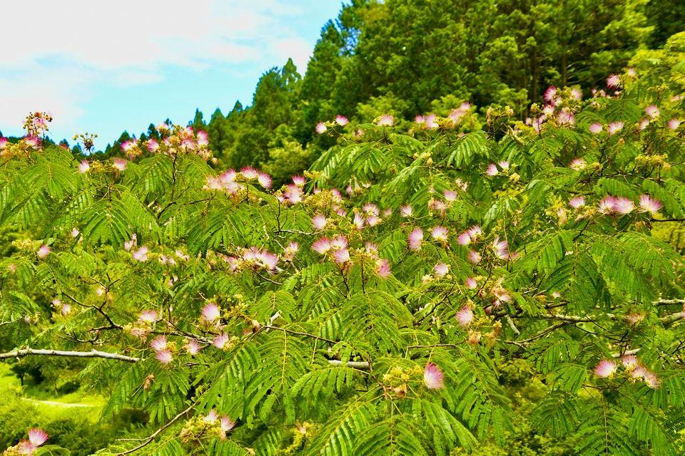 ネムの花は晴れた日には空に向かって打ち上げ花火のようにパッと咲き