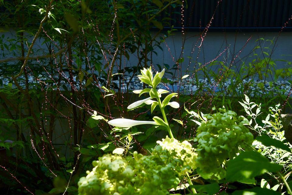 玉の簪花(タマノカンザシ) 匂いギボウシ が咲き始めました。 border=