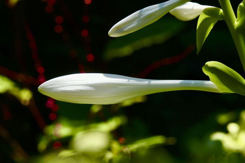 玉の簪花(タマノカンザシ) 匂いギボウシ が咲き始めました。