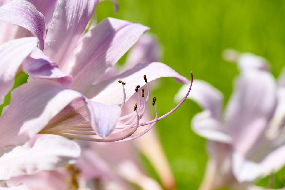 ナツスイセンは漢字で夏水仙、ヒガンバナ科の多年草である。