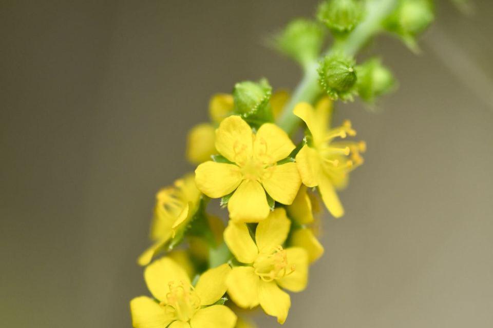 キンミズヒキは漢字で金水引、夏から秋にかけて黄色い花が総状に咲く。 border=