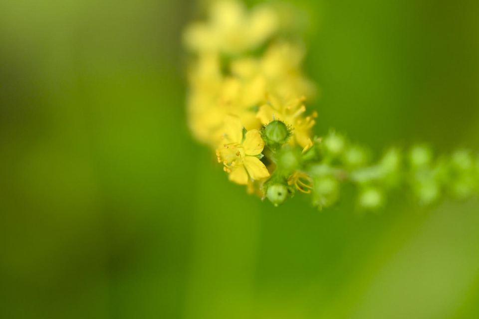 キンミズヒキは漢字で金水引、夏から秋にかけて黄色い花が総状に咲く。