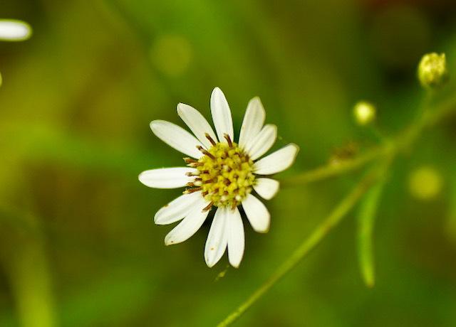 恵那山麓の野草 シロヨメナ又は山白菊