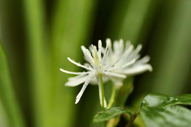 恵那山麓の野草 雨に咲くボタンヅル、漢字で牡丹蔓。 border=