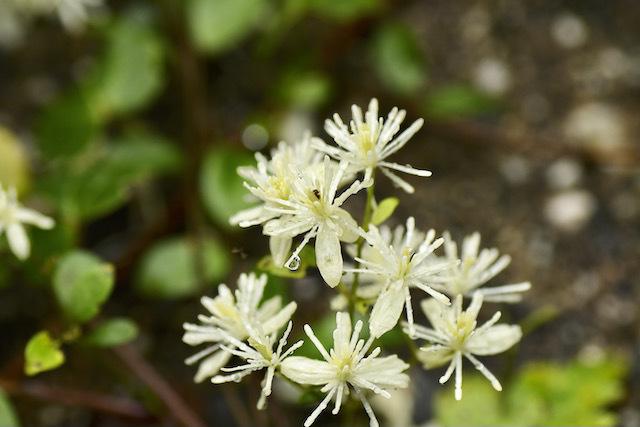 恵那山麓の野草 雨に咲くボタンヅル、漢字で牡丹蔓。
