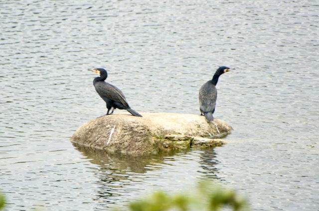 川鵜のご夫婦、