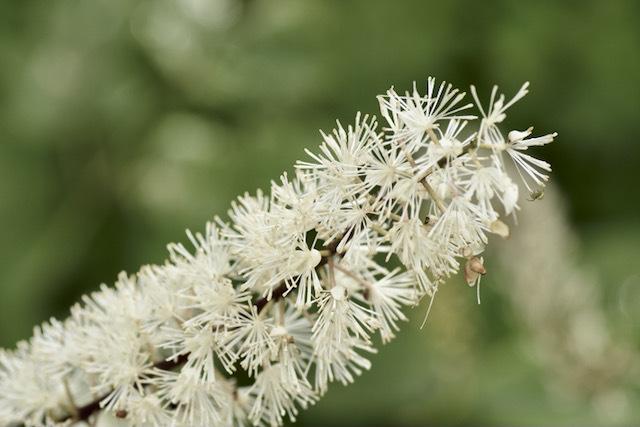 恵那山麓の野草 サラシナショウマは漢字で晒菜升麻