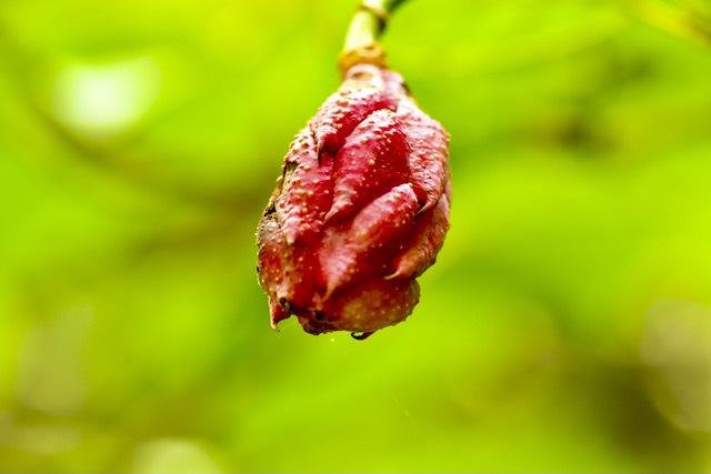 オオヤマレンゲの実、赤く熟したのを採取し実生苗を育て山に戻す、山守人。