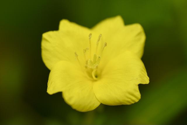恵那山麓の草花 メマツヨイグサは漢字で雌待宵草。 border=