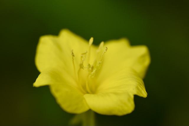 恵那山麓の草花 メマツヨイグサは漢字で雌待宵草。