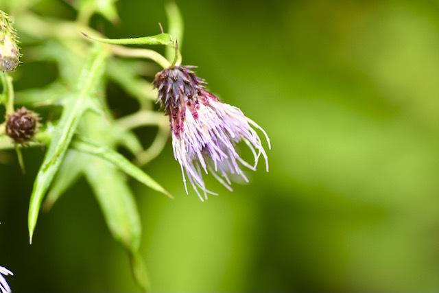 恵那山麓の草花 アテラアザミ