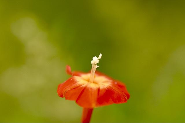 恵那山麓の草花  マルバルコウソウ