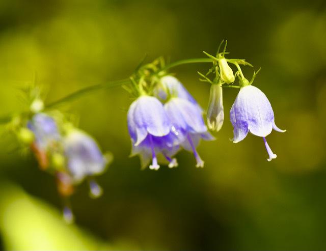 夜がらす山荘 長多喜、庭の小径の秋の花 「ツリガネニンジン」