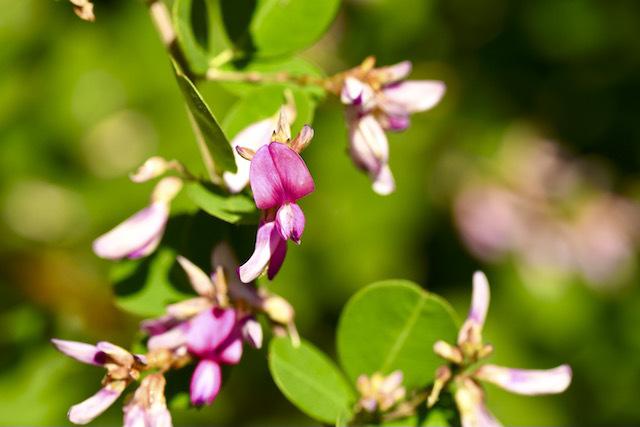 恵那山麓の草花 ハギ、ヤマ萩の花、秋の七草
