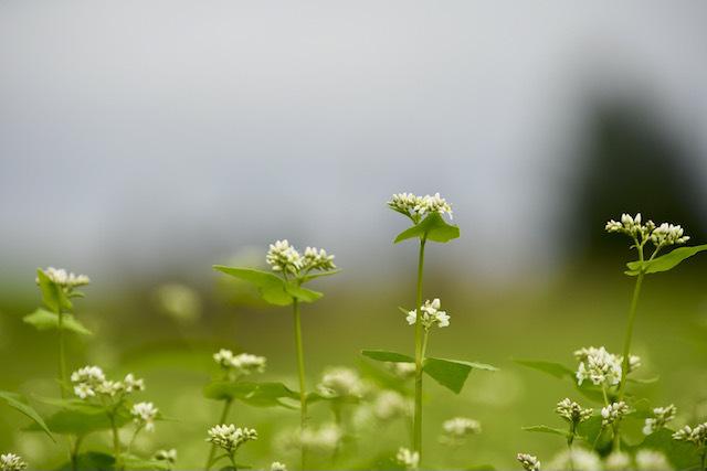 そばの花、咲いてます3分咲き。