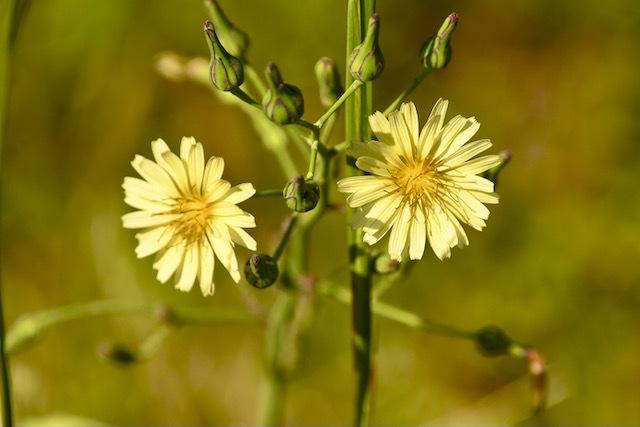 お彼岸に咲くアキノノゲシ