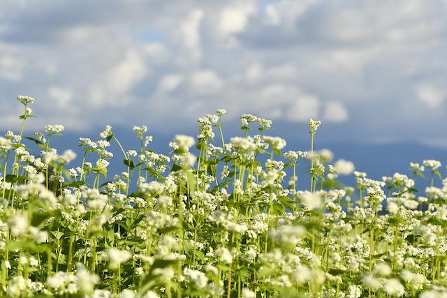 椛の湖蕎麦の花満開になりました。 border=