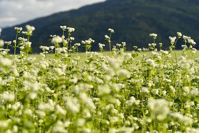 椛の湖蕎麦の花満開になりました。