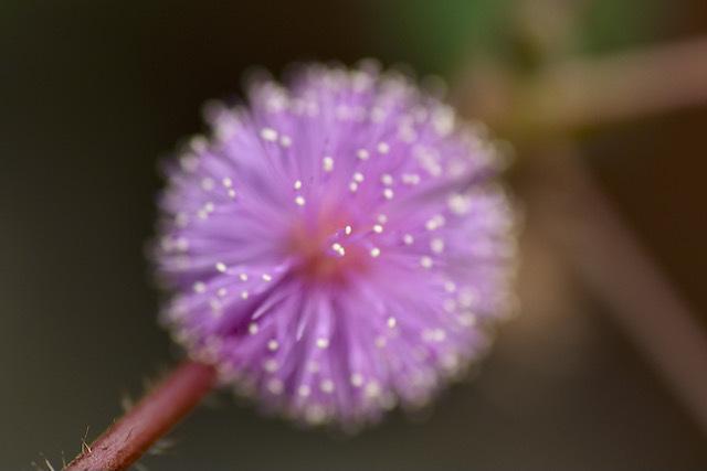 爽かピンクのオジギソウの花