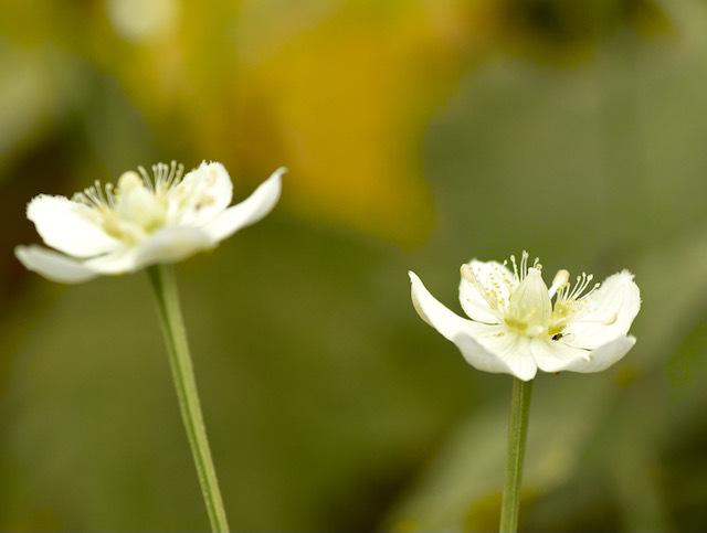 恵那山麓の草花 ウメバチソウ