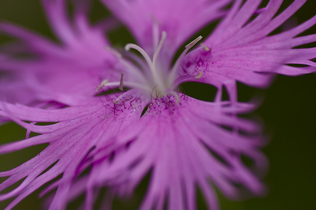 恵那山録の野草 カワラナデシコはナデシコの別称。河原撫子、撫子、秋の七草。
