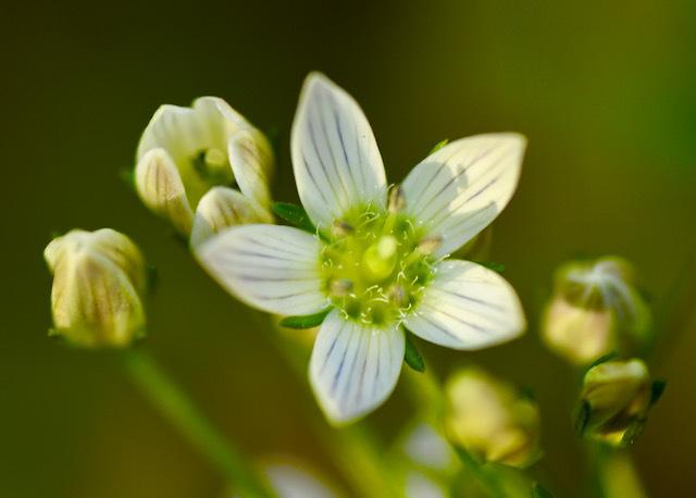 恵那山麓の野草 センブリの花が咲いた、