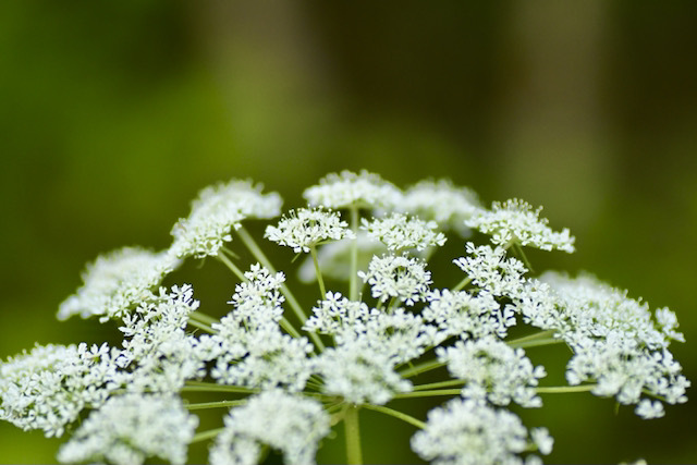 恵那山麓の草花 シラネセンキュウ、セリ科シシウド属で漢字で白根川芎、別名がスズカセリ(鈴鹿芹)。林縁の木陰に白い大輪の花火がぱっと開いたような花を咲かせる潔い姿に圧倒される。 #恵那山麓の草花 #シラネセンキュウ #白根川芎 #スズカセリ #鈴鹿芹 #セリ科 #シシウド属 #中津川の観光 #恵那山ねっと #インスタ中津川 #ienasannet