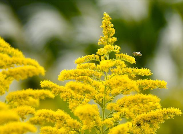 この美しい黄色い花はセイタカアワダチソウ、 border=