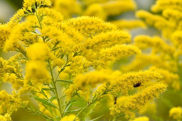 この美しい黄色い花はセイタカアワダチソウ、