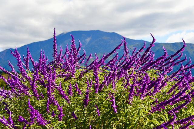 恵那山麓の草花 アメジストセージと云うそうです、