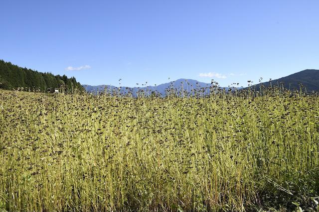 椛の湖そば畑はスッカリそばの実畑になってました