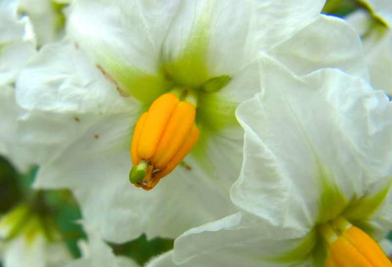 只今満開!ジャガイモとダイコンの花