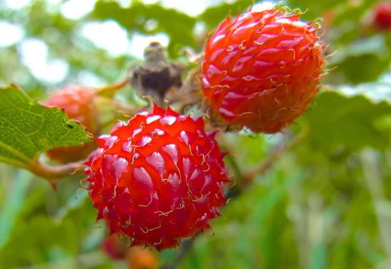 草花メッセージ クマイチゴ