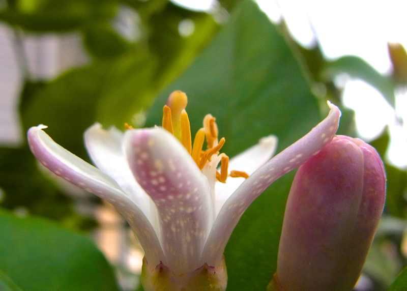 癒しの柑橘系 レモンとゆずの開花