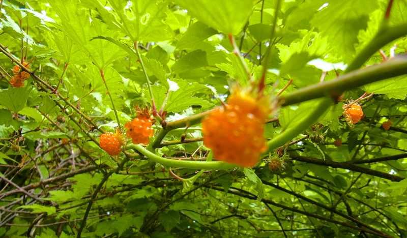 草花メッセージ 一番美味しい キイチゴ