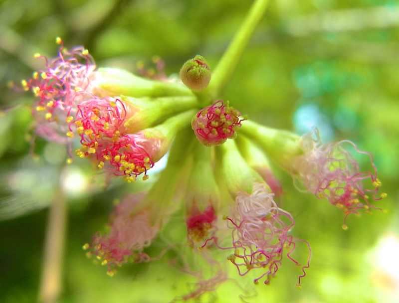 草花メッセージ ネムノキが咲き出した。