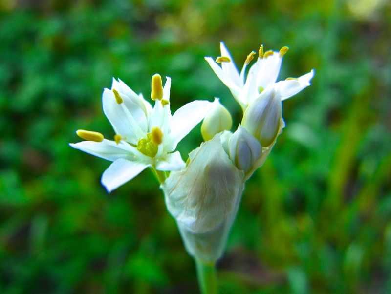 草花メッセージ  ニラの花