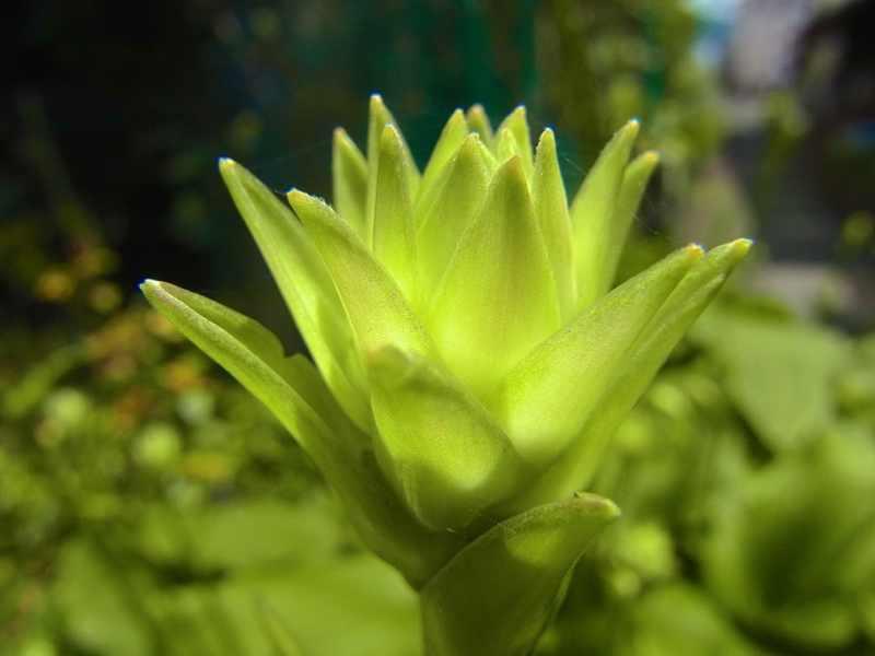 草花メッセージ 魅惑のオオバギボウシ