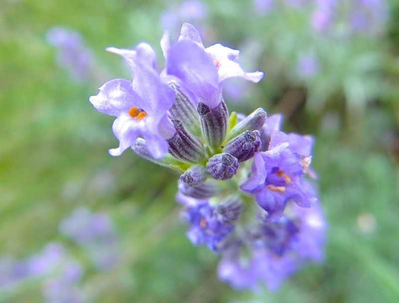 草花メッセージ  ラベンダーとミツバチ