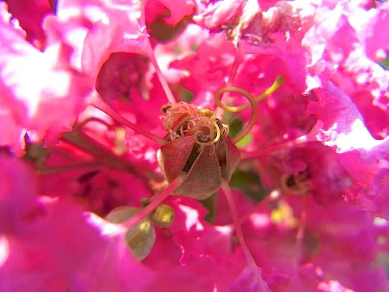 草花メッセージ 真夏の代表、サルスベリ(百日紅)