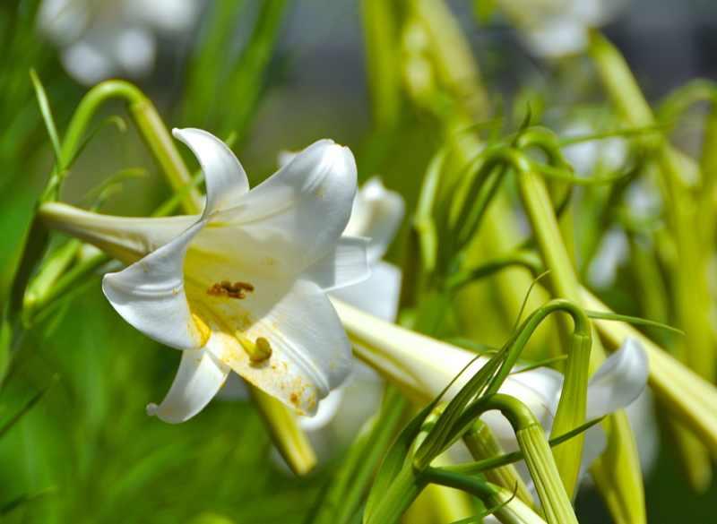 草花メッセージ タカサゴユリの秘密