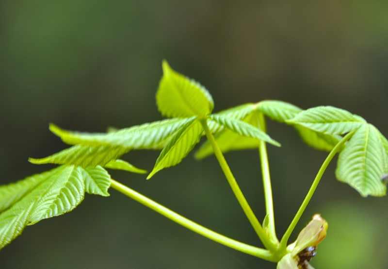 「大好きな緑」の新葉  栃ノ木