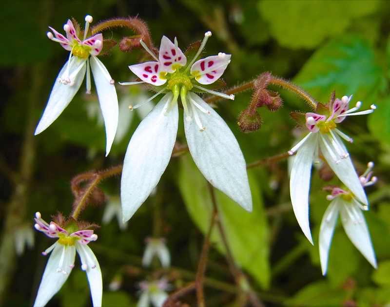 草花メッセージ 木陰にヒラヒラ「ユキノシタ」