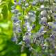 草花メッセージ フジの花